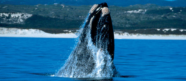 The Southern Right Whale  (Eubalaena Australis)